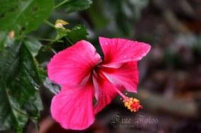 hibiscus - Copy